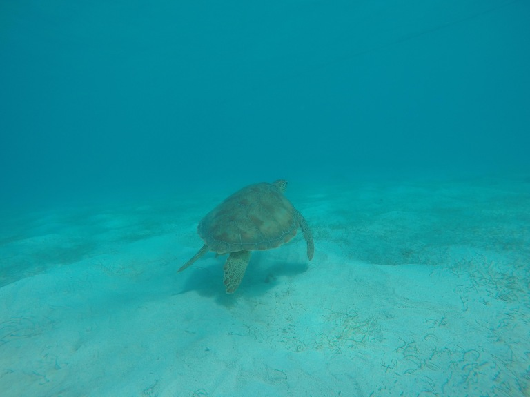 Turtle in Tobago Cays