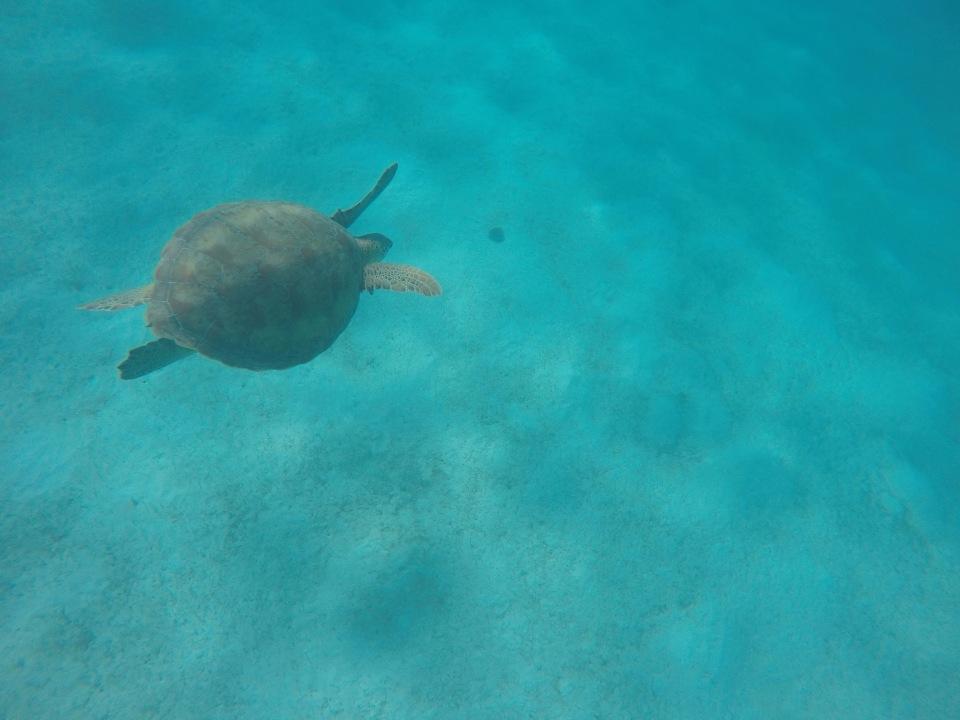 Tortue Tobago Cays